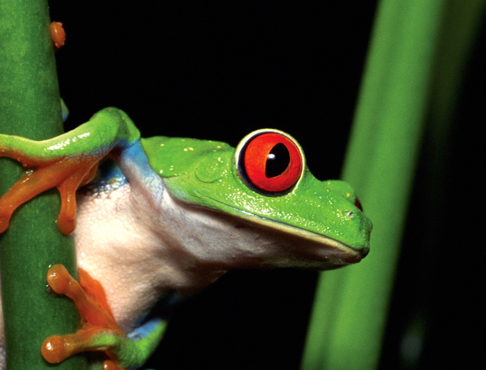 costa_rica_red_eyed_tree_frog_16